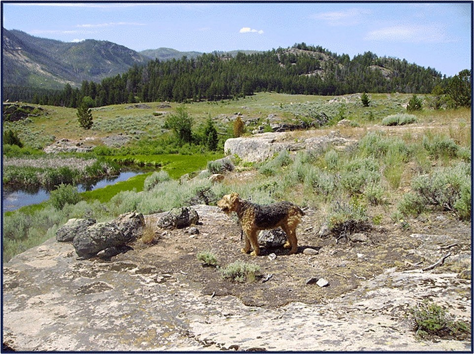 Large Airedale Fancy in the Beartooth Mountains