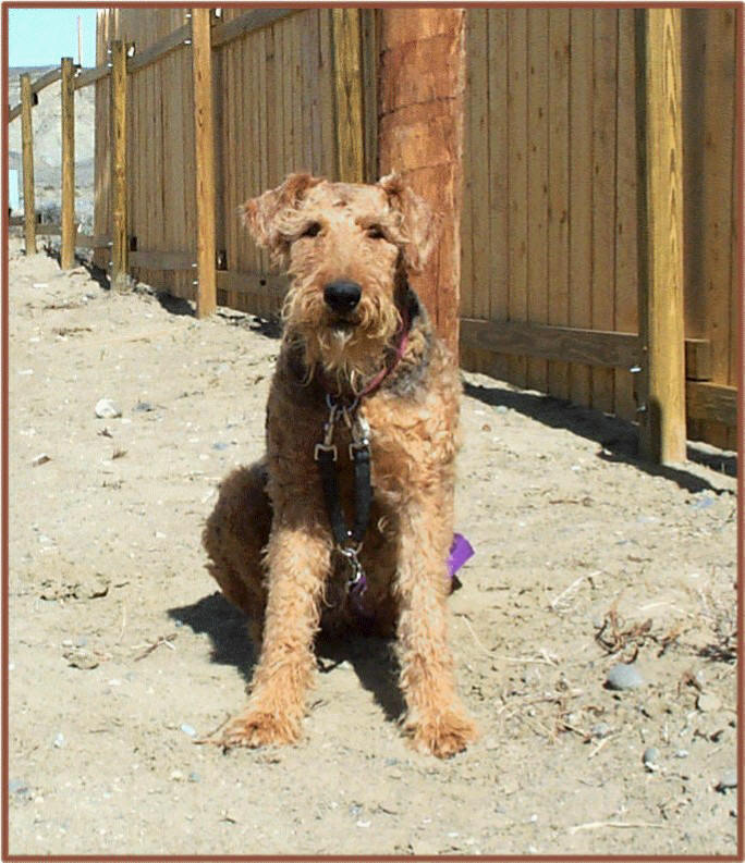 Fancy, female Airedale
