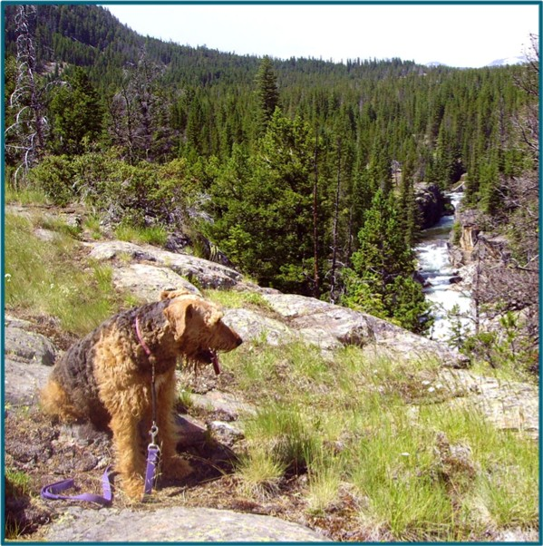 Airedale Fancy by canyon along the Clarks Fork River