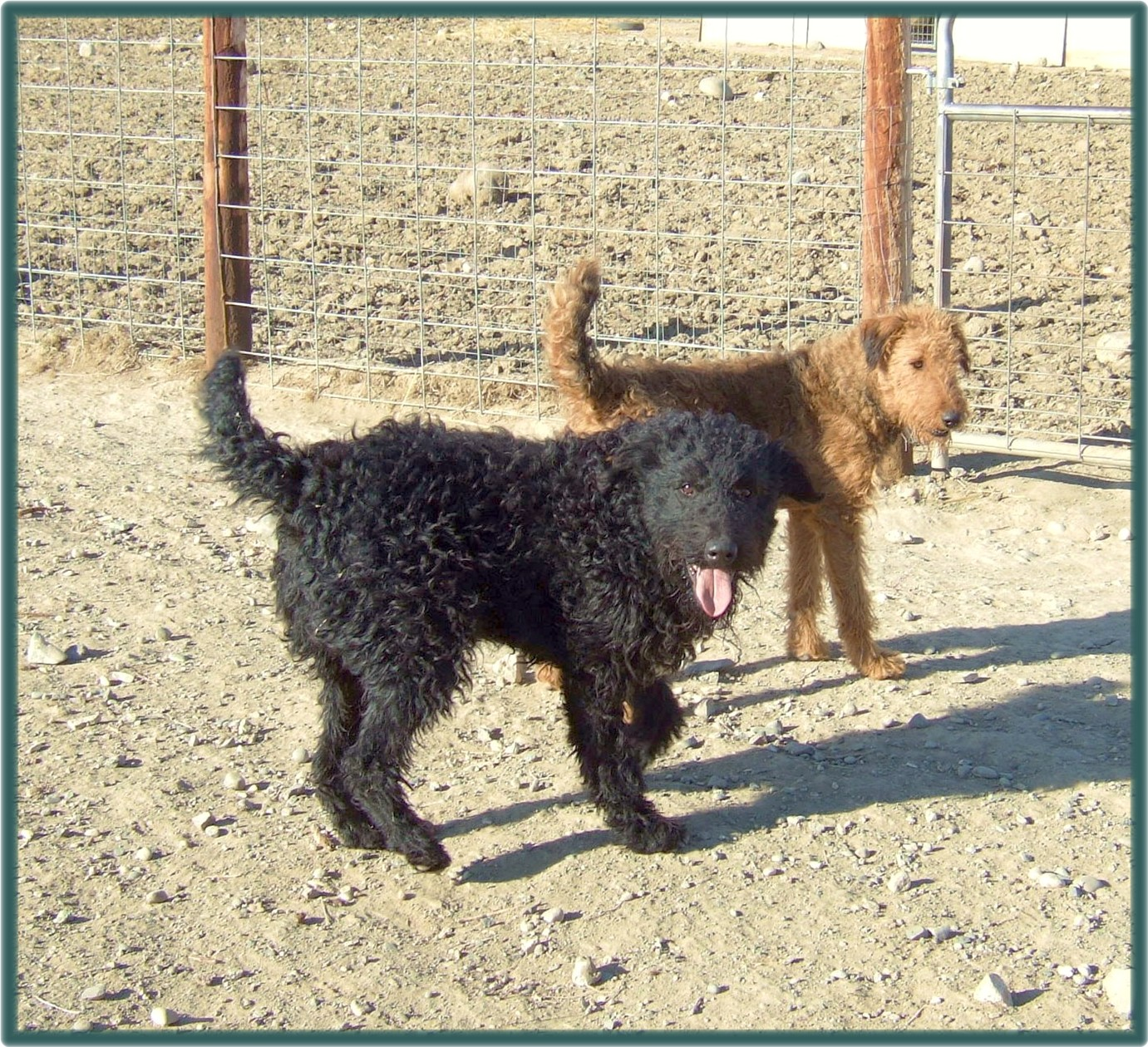 Black Magic and Shadow, rare red Airedale