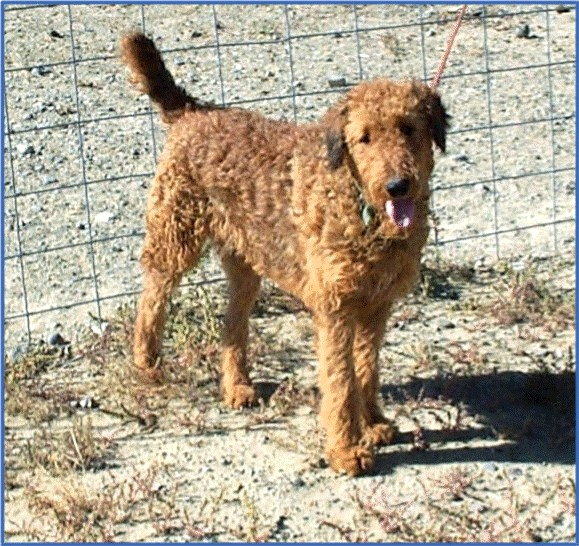 Red, tall Airedale (31-32 inches at the shoulder)