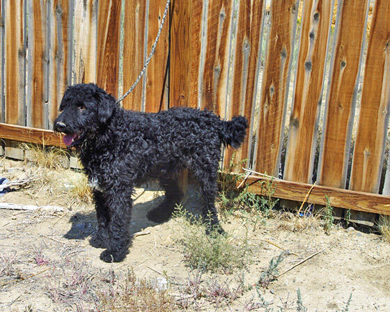 Black Airedale