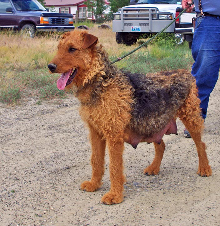Large Airedale