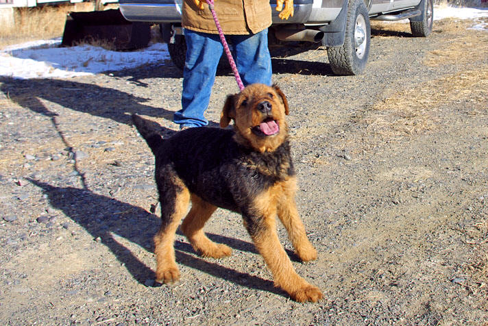 Black Airedale puppy