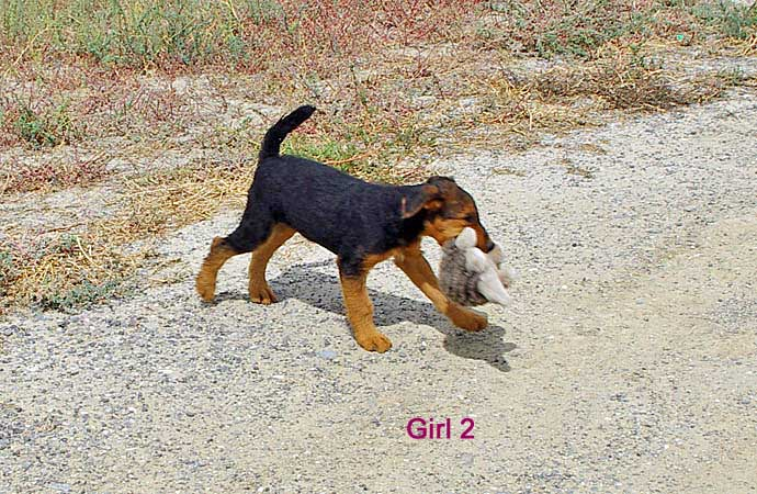 Black and tan Airedale puppy