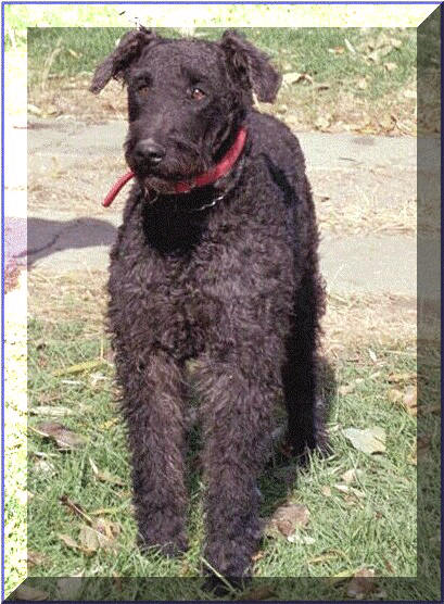 Roc black Airedale
