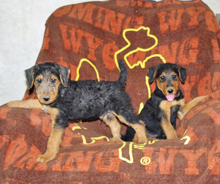 Brown and black Airedale puppies