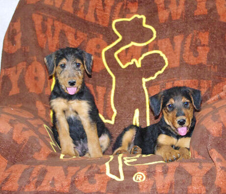 AKC Airedale pups