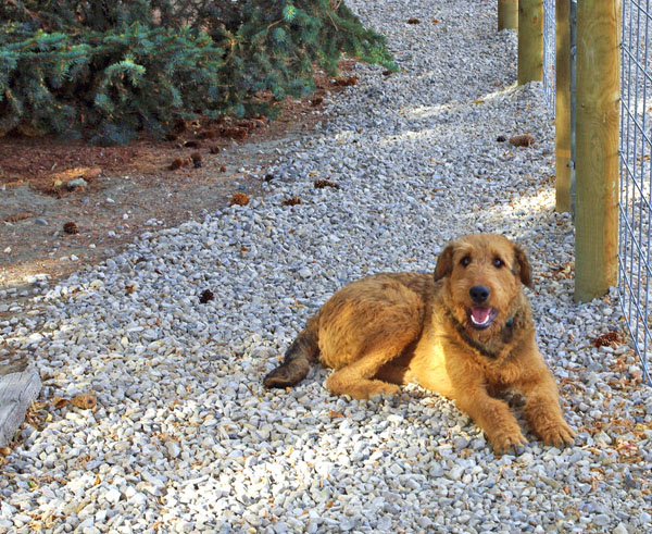 red Airedale