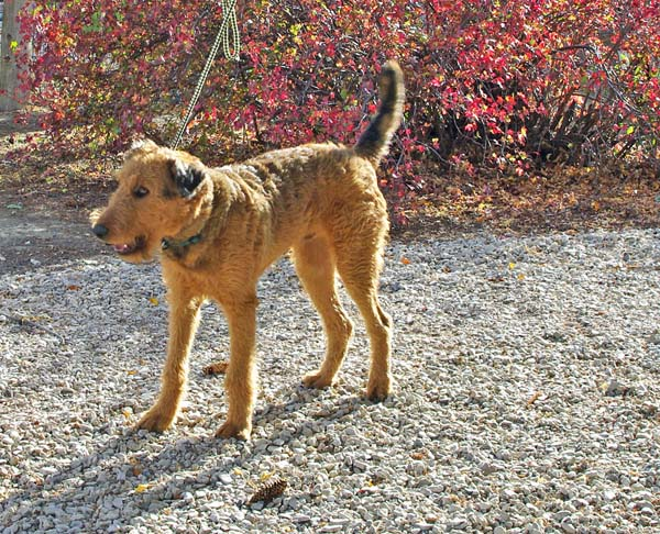 Red Airedale Terrier