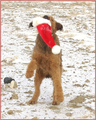 Red Airedale Terrier playing